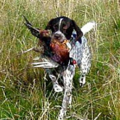 Gsp Pepper With Phesant Retrieving